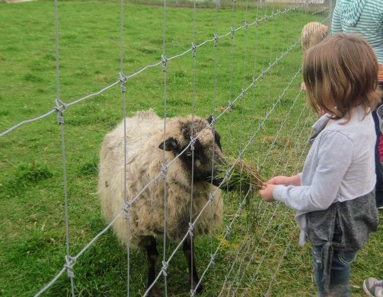 girl feeding sheep through fence