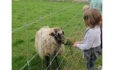 girl feeding sheep through fence