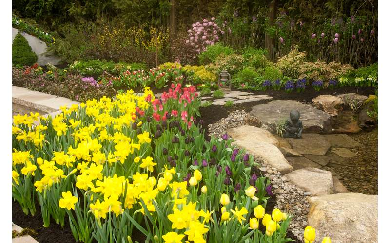 yellow daffodils with pink and purple tulips