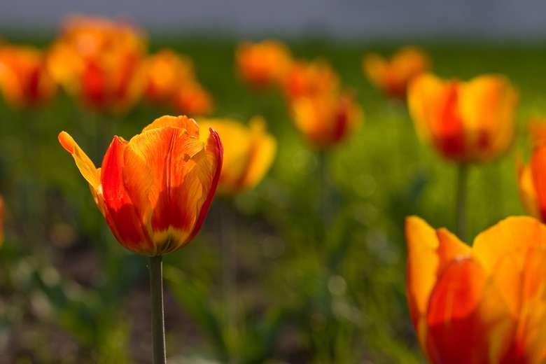 orangeish red tulips
