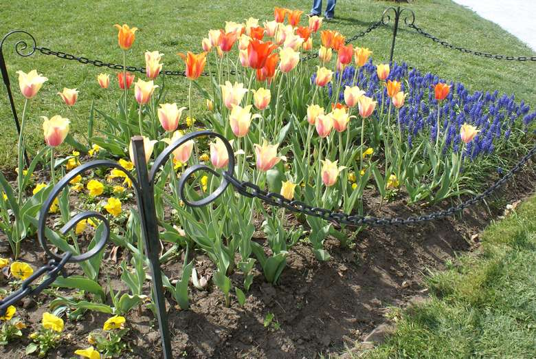 a tulip bed