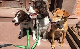 three dogs with leashes