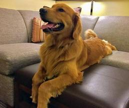 dog on hotel couch