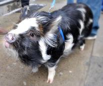 Pet potbelly pig on a leash