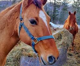 two horses with hay