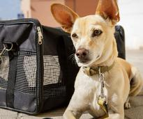 dog by carrier with ears up