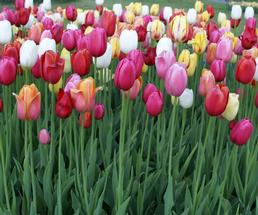 red, pink, white tulips