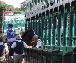 horse at the starting gate at saratoga