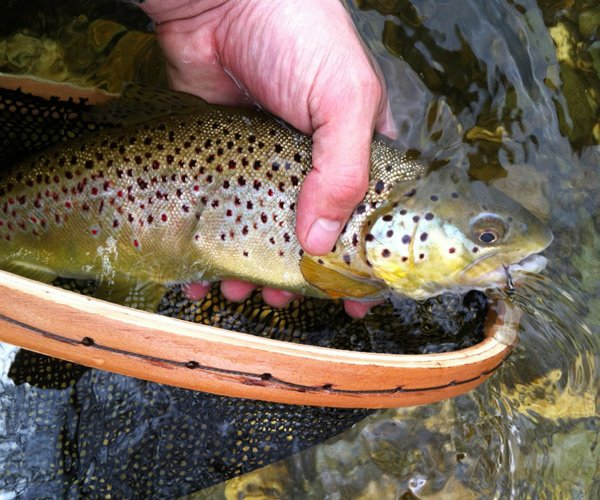 brown trout being held above net