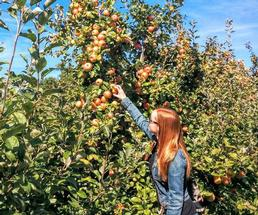 woman picking apples