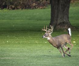 buck running