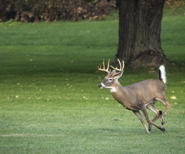 a white-tailed deer running on grass