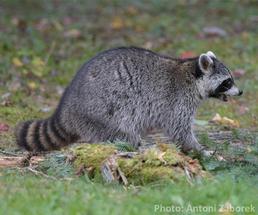 raccoon in the adirondacks