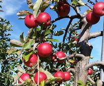 Apples at an apple orchard