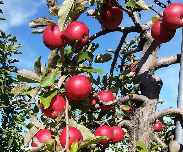 red apples on a tree at an apple orchard