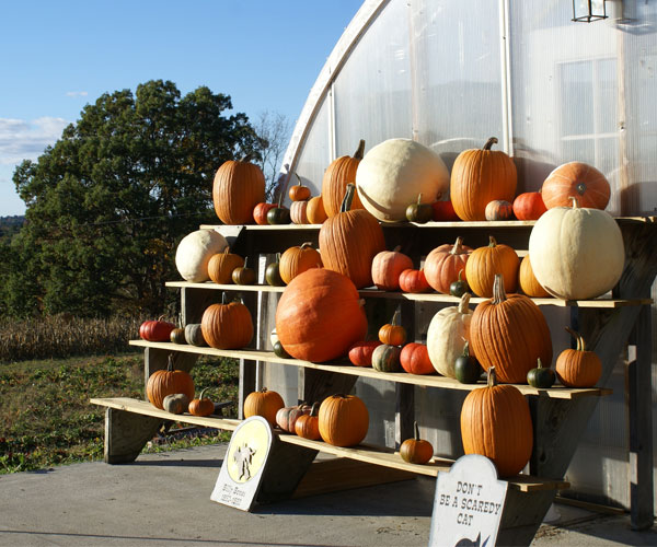 pumpkins on shelves