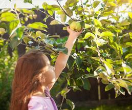 Young girl picking an apple off of a tree