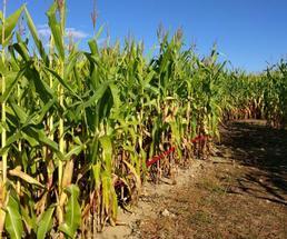 corn maze row