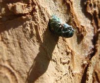 emerald ash borer attached to an ash tree