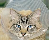 Cat in pet cone after veterinary procedure