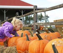 Little girl in purple picking pumpkin