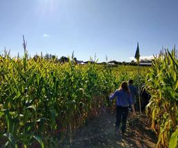people in a corn maze