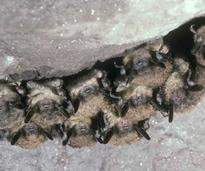 a group of brown bats
