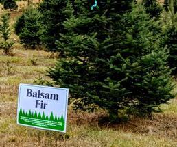 Christmas tree farm with Balsam fir sign