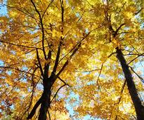 looking up at yellow leaves in a tree