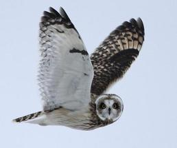 an owl flying in the sky