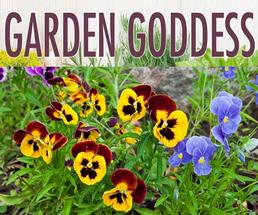 yellow and red pansies