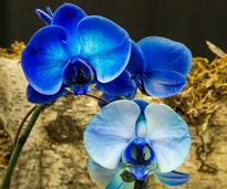 striking blue orchid