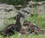 mother duck and baby ducklings