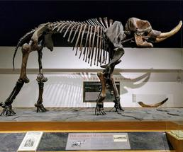skeleton of Cohoes mastodon