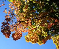 foliated tree