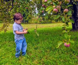 toddler and apple tree