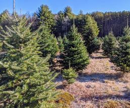 trees at a Christmas tree farm