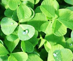 green clovers with rain drop dew