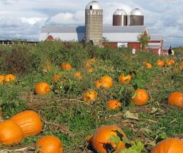 a pumpkin patch with a farm building in the background