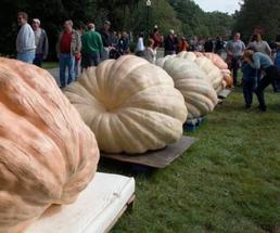 large pumpkins at a festival