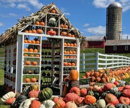 pumpkins on farm, stacked in shed
