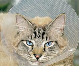 cat in a medical cone