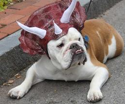 bulldog in a triceratops hat