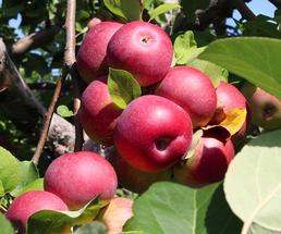 apples on a tree in an orchard