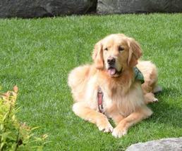 a golden retriever sitting on grass