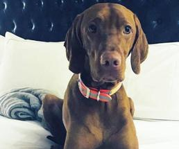 brown dog on a bed