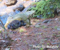 rattlesnake on Tongue Mountain
