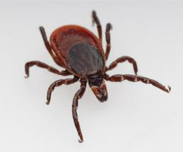 Image of a deer tick