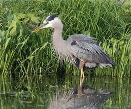 heron standing in the water