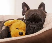 A puppy sleeping in a dog bed with a stuffed animal